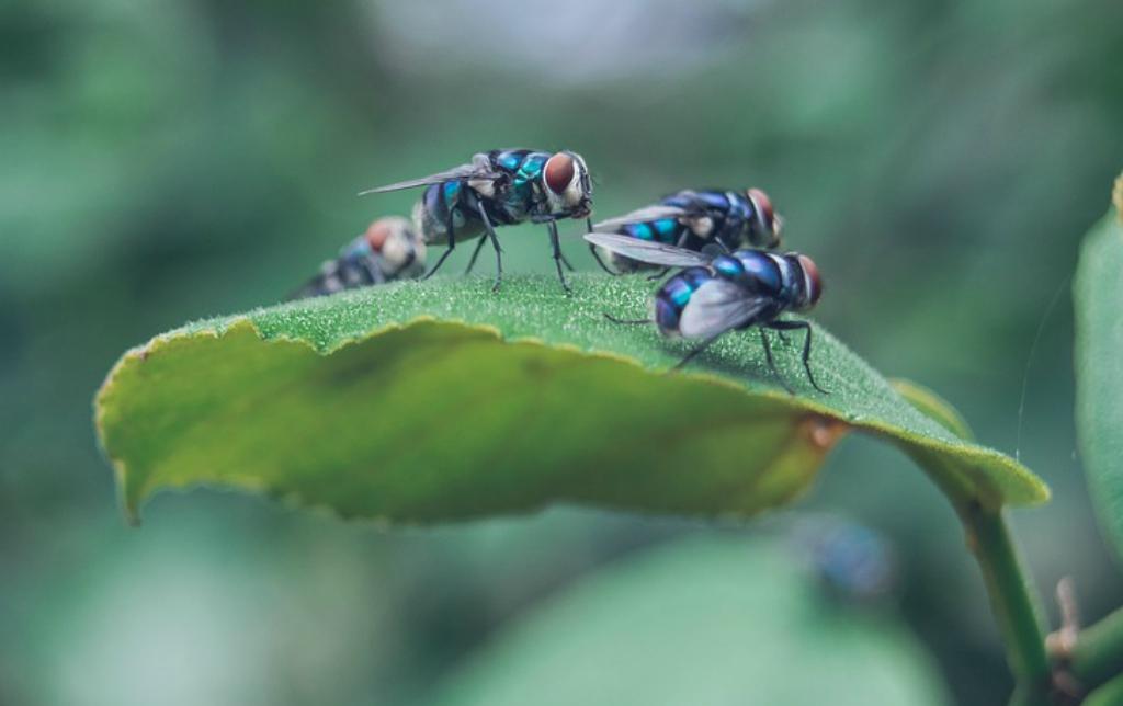 Las moscas: ¿vectores de enfermedades o agentes polinizadores?