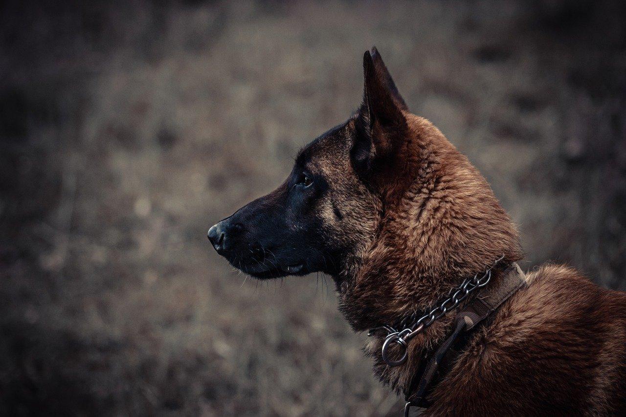 Dog Canine Pet Domestic Collar  - Areson / Pixabay