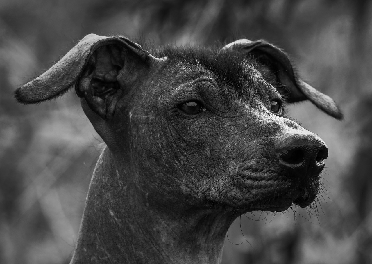 Dog Canine Xoloitzcuintle Pet  - Anders_Mejlvang / Pixabay